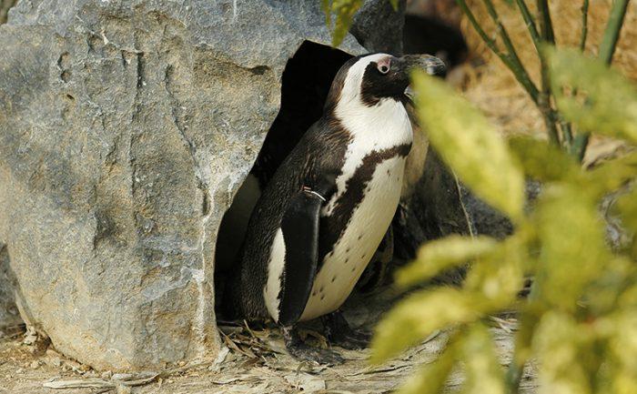 ペンギンウォーク (2)