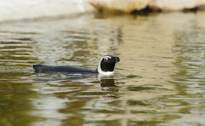 ペンギンウォーク (3)