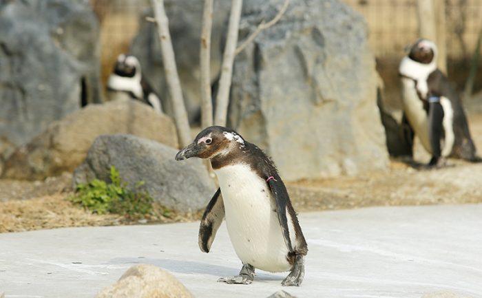 ペンギンウォーク (4)
