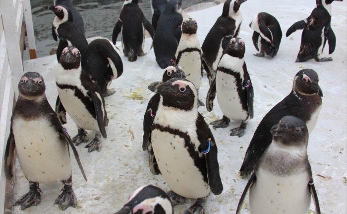 ペンギンウォーク_R