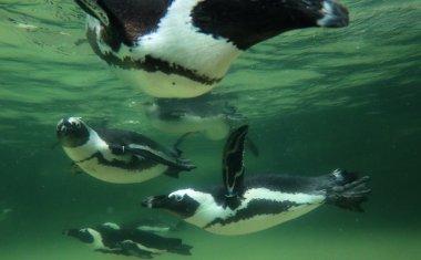 神戸どうぶつ王国の仲間 ケープペンギン