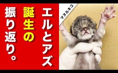 ✨2020年3月20日、神戸どうぶつ王国にマヌルネコがやってくる✨