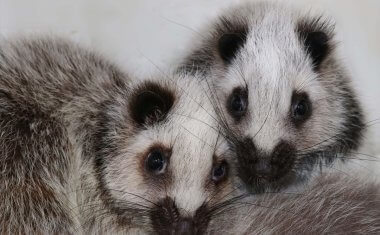 神戸どうぶつ王国の仲間 ウスイロホソオクモネズミ