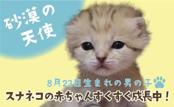 スナネコ赤ちゃん_スライド2_MOV