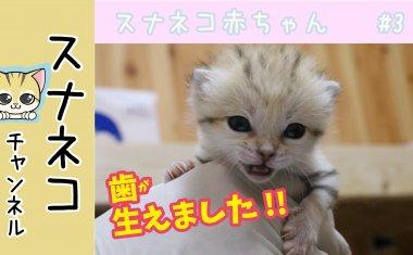 """【スナネコチャンネル】""""スナネコ赤ちゃん""""  #3 歯が生えました"""