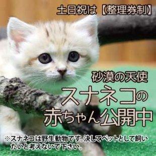 9月25日(金) からスナネコの赤ちゃん展示スタート!(9月26日更新)