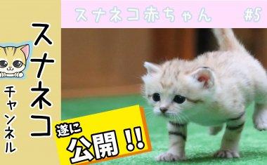 """【スナネコチャンネル】""""スナネコ赤ちゃん""""  #5遂に公開"""