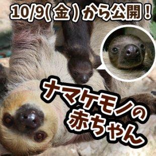 《予告》10月9日(金)から「ナマケモノの赤ちゃん」公開!