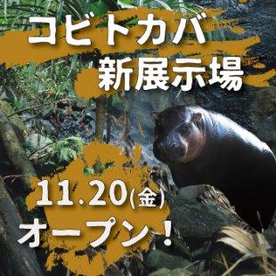 【NEW】11月20日(金)コビトカバ新展示場オープン!(2020年11月13日更新)