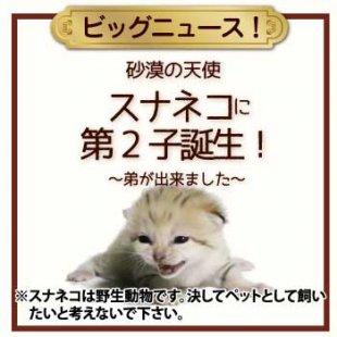 【ビッグニュース!】スナネコに第2子が誕生! スナネコの子どもに弟が出来ました♪(12/18更新)