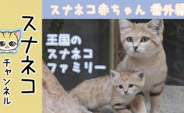 """【スナネコチャンネル】""""スナネコ赤ちゃん""""~番外編~ 王国のスナネコファミリー"""