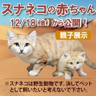 スナネコ赤ちゃん公開中!(12/22更新)
