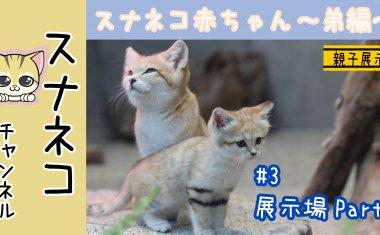 """【スナネコチャンネル】""""スナネコ赤ちゃん""""~弟編 #3展示場Part3~"""
