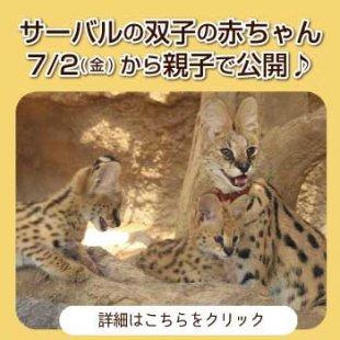 7/2(金)から「サーバルの双子の赤ちゃん」親子で公開!