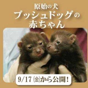 """9/17(金)~ 原始の犬""""ブッシュドッグ""""の赤ちゃん公開!(9/17更新)"""
